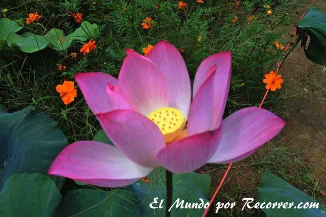Cultivos de flor de loto Yangshui China travel blog