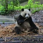 oso-panda-chengdu