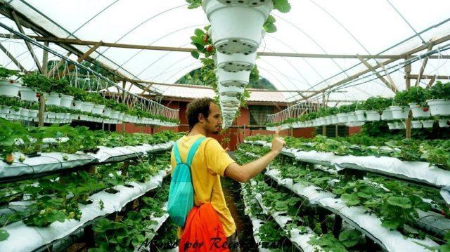 Cameron Highlands fresas invernadero greenhause