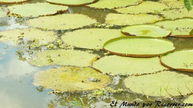 puerto nariño colombia victoria regia low