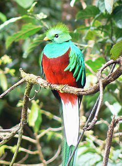 quetzal costa rica pajaro